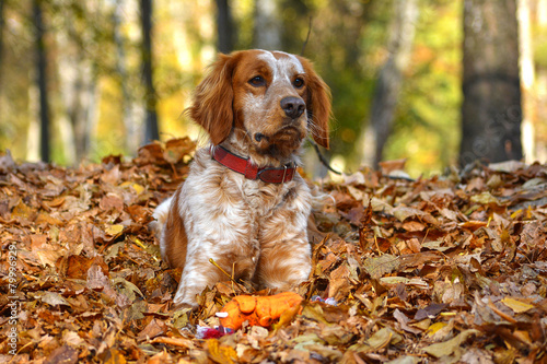 red dog is lying in the leaves Canvas Print