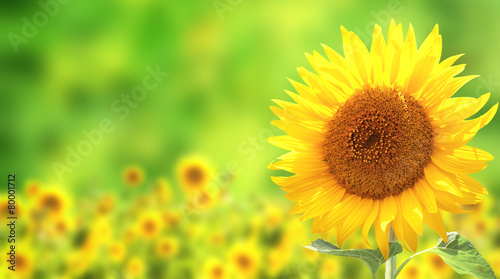 In de dag Zonnebloem Sunflowers on green background