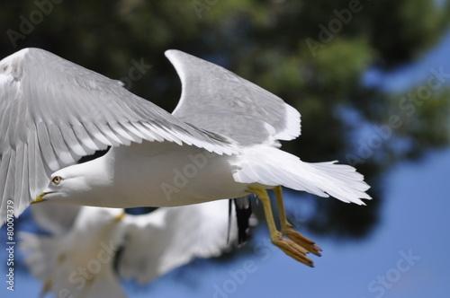 Fotografering  mouette en vol