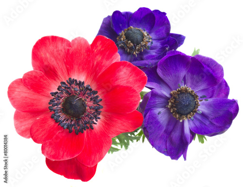 anemone flowers Poster Mural XXL