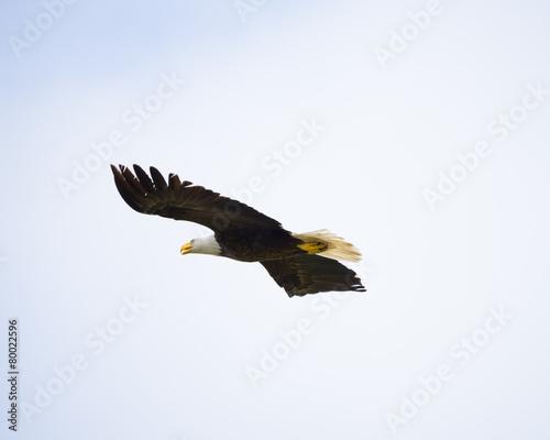 Obraz na plátně American Bald Eagle in Flight