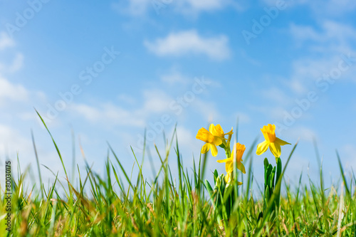 Papiers peints Narcisse Daffodils on a green field