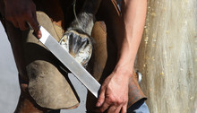 Equine Farrier, Fits A Horse Shoe To A Horse's Hoof With A Rasp.
