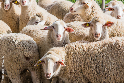 Fotografie, Obraz  herd of white sheep
