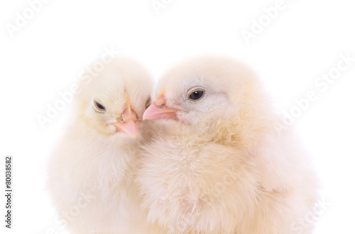 Fotografie, Obraz Cute chicks on white background