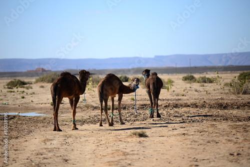 Spoed Foto op Canvas camel