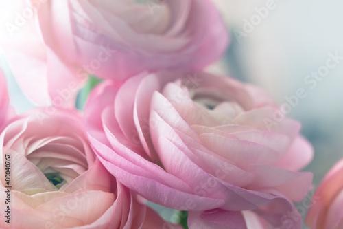 Obraz na plátně Pink ranunculus background