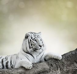 Fototapeta na wymiar White Tiger