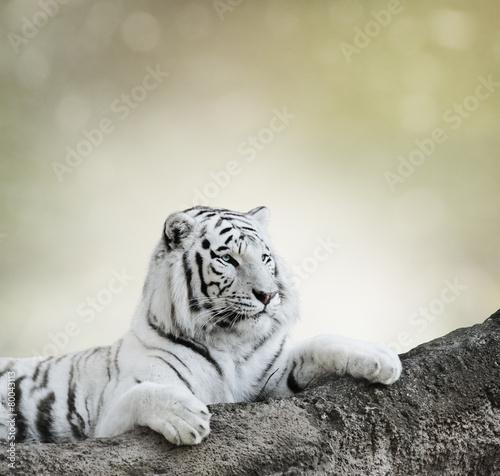 Obrazy na płótnie Canvas White Tiger