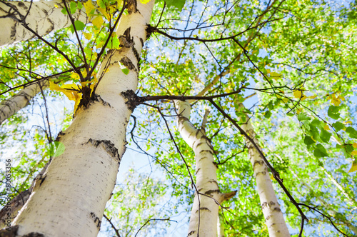 Fotografering  Green birch in spring forest