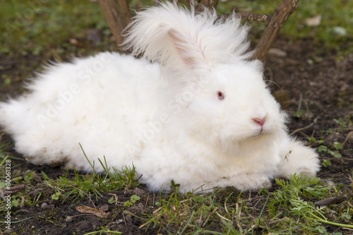 Fluffy angora rabbit eating herbs on grass Canvas Print