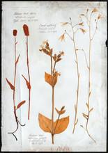 Flowers Pressed Isolated Herbarium