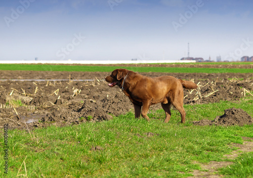 Poster Chasse labrador retriever in nature