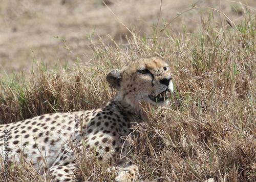 Staande foto Afrika cheetah relax, tanzania