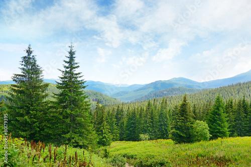 Fototapeta Beautiful pine trees on background high mountains. obraz