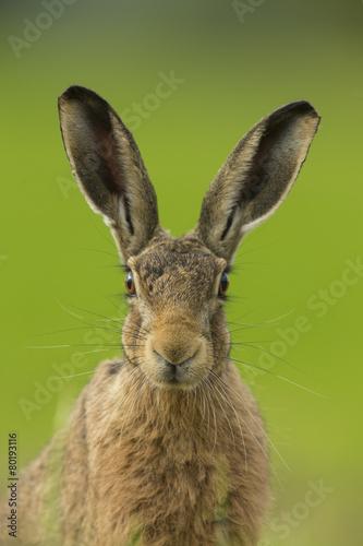 Fotografia, Obraz European Brown Hare - Lepus euroaeus
