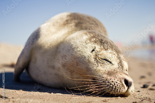 Fototapeta premium Sleeping Seal