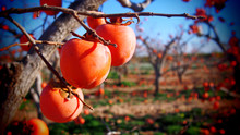 Persimmons At Fruit Garden, Va...