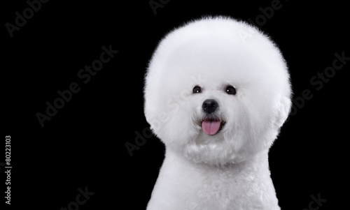 Photo portrait of the bichon dog with white fur