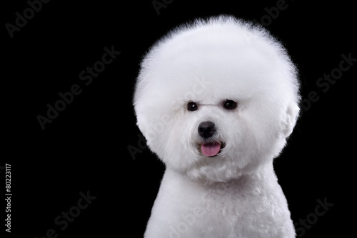 Fototapeta portrait of the bichon dog with white fur