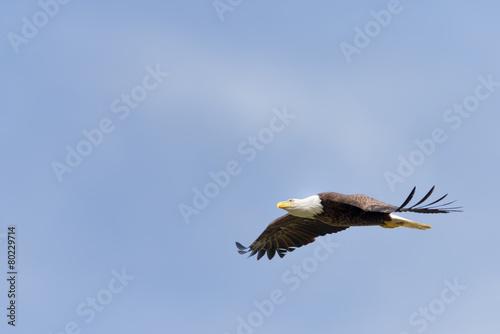 Fotografie, Obraz American Bald Eagle in Flight