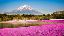 Moss Phlox With Mount Fuji In Background