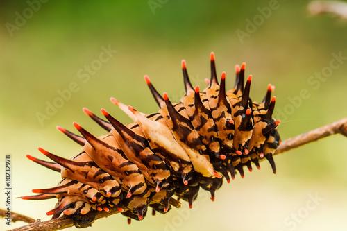 Caterpillar  golden birdwing Canvas Print