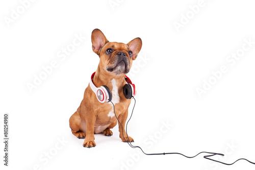 Foto op Plexiglas Franse bulldog Bulldogge mit Kopfhörern - isoliert