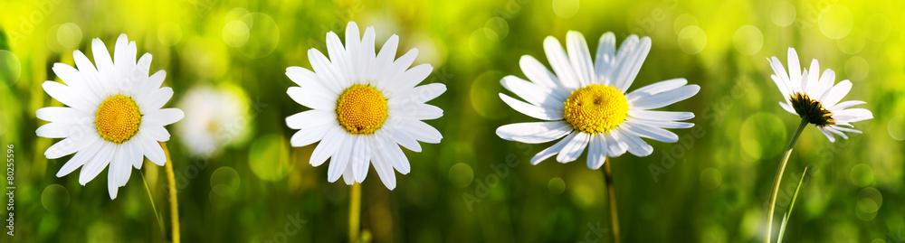 Fototapeta White daisy flowers .