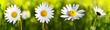 Leinwanddruck Bild - White daisy flowers .
