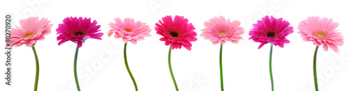 Door stickers Gerbera Pink gerber flowers isolated.
