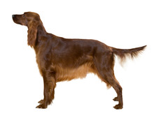 Side View Of Standing Female Red Irish Setter