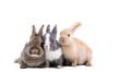 canvas print picture - Tiere Freisteller Hasen