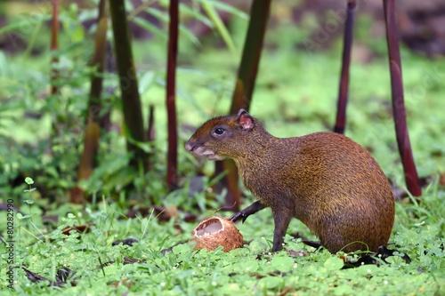 Photo Agouti eating