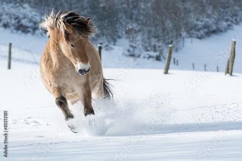 Fotografie, Obraz  Pferd galoppiert sněhu