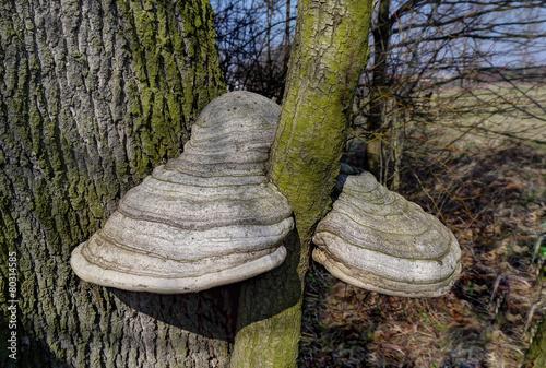 Fotografia, Obraz  Polypore fungus