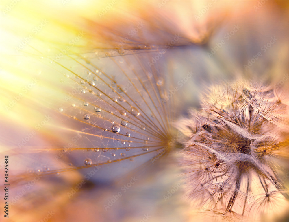Fototapety, obrazy: Dandelion seeds - fluffy blowball (dandelion)
