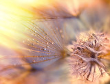 Fototapeta Puff-ball - Dandelion seeds - fluffy blowball (dandelion)
