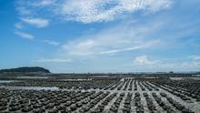 Oyster Farm Ban Ang Sila, Thai...