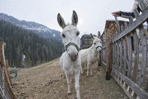 Photo Stands Ass white donkey portrait