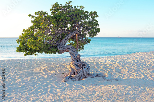 Divi divi tree on Aruba island in the Caribbean Poster