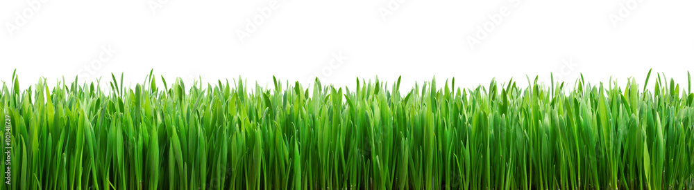 Fototapety, obrazy: perfect grass isolated for spring border