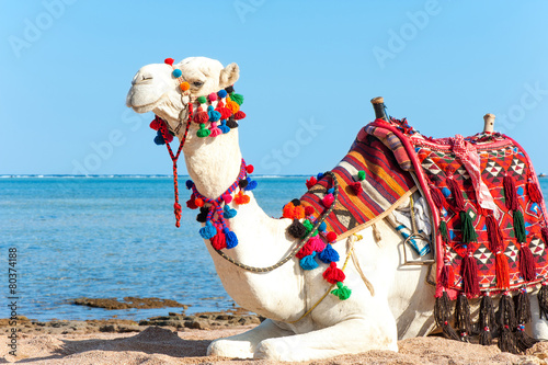 White proud camel resting on the Egyptian beach. Camelus dromeda
