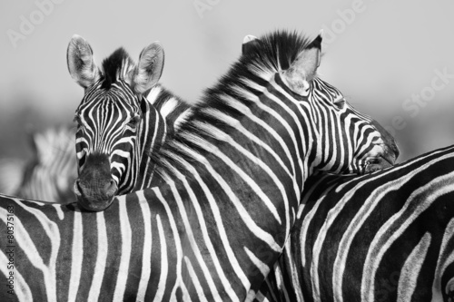 Zebra herd in black and white photo with heads together #80375163