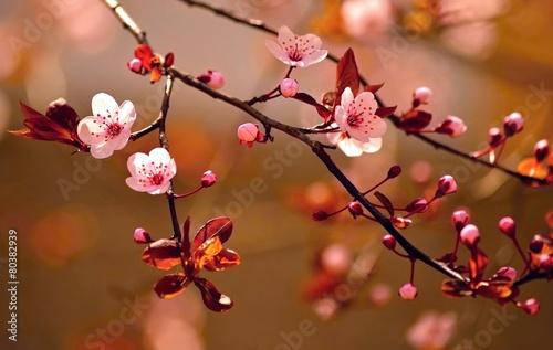 Photo  Beautiful flowering Japanese cherry - Sakura.