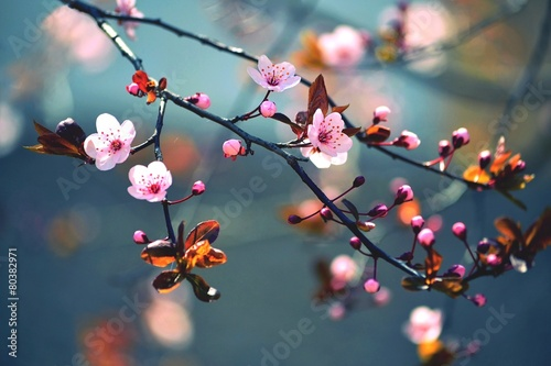 Poster Printemps Spring flowering Japanese tree Sakura