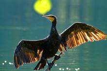 Cormorant Drying Wings,backlight