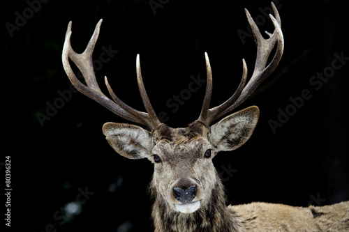 Deer on the black background Canvas Print