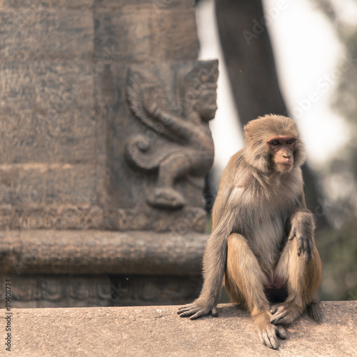 Photo Young rhesus macaque monkey at Swayambhunath temple, Kathmandu v