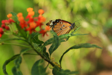 Orange Butterfly On A Green Le...